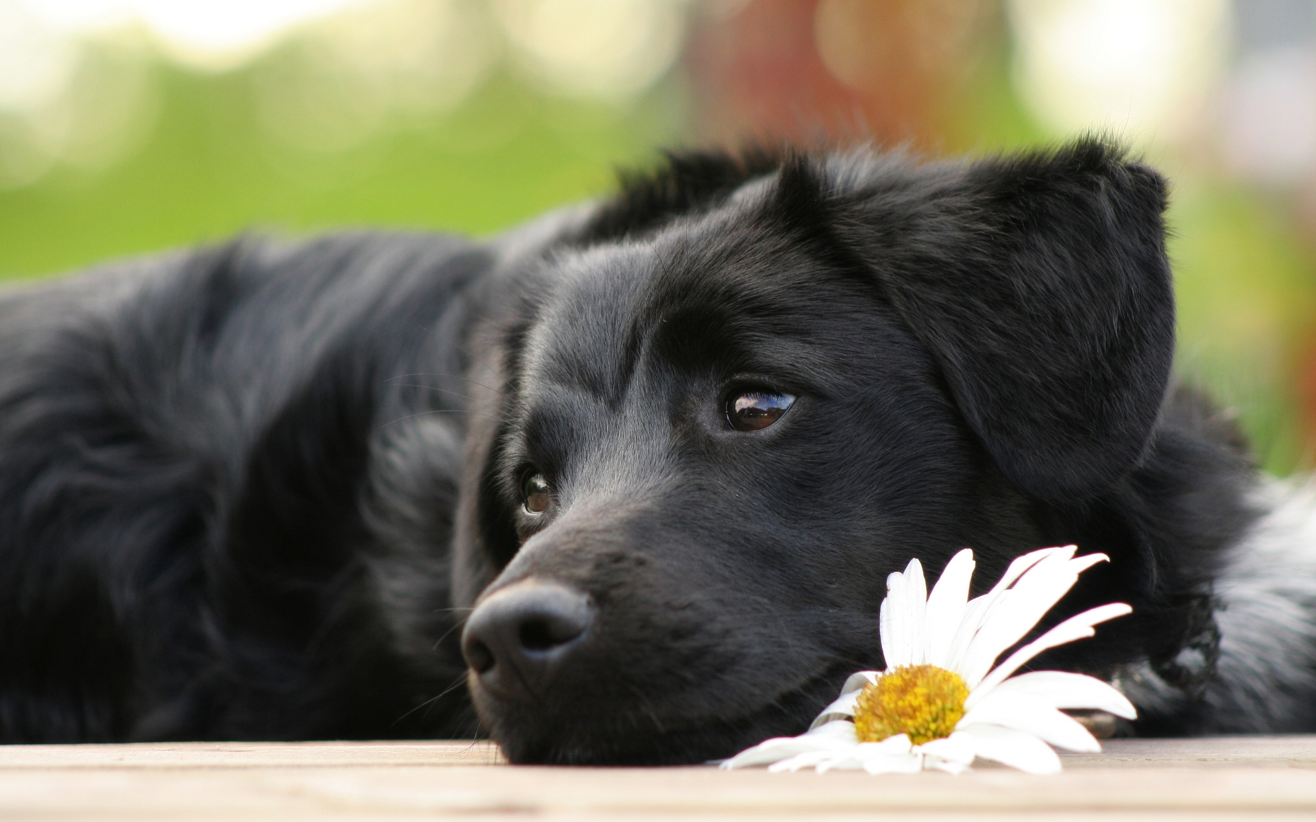 Eclipse, Alpha male of Eclipse pack Black-lab-puppy-wallpapers
