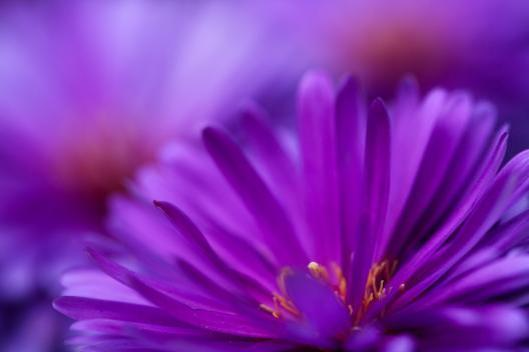 Purple-flower-closeup-wallpaper_6742