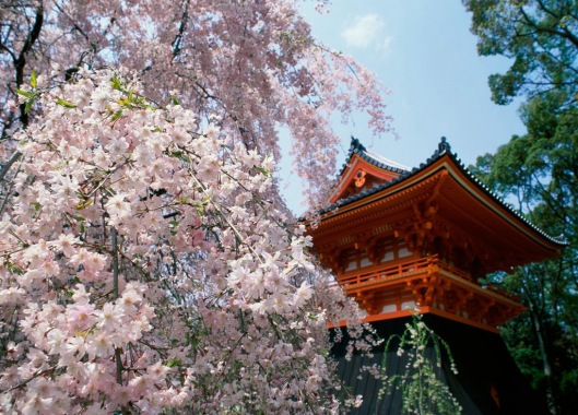 Cherry-Blossoms,-Ninnaji-Temple,-Kyoto,-+Japan