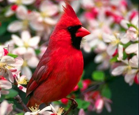 BirdCardinalMale