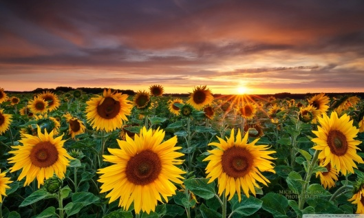 magic_landscape_sunflower_garden_background-wallpaper-1280x768
