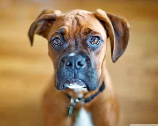 sad_boxer_dog-wallpaper-1280x1024