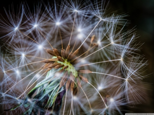 macro_dandelion_2-wallpaper-1152x864