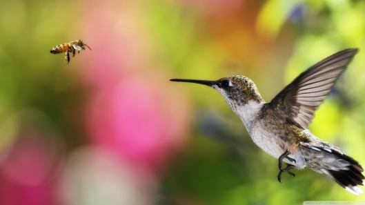 hummingbird_and_bee___chile-wallpaper-1280x720