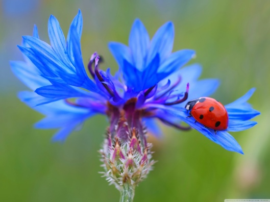 ladybug_on_a_blue_cornflower_plant-wallpaper-1280x960