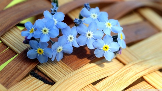 ws_blue_forget_me_not_flowers_-wallpaper-1920x1080